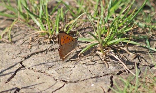 200910 small copper (7)