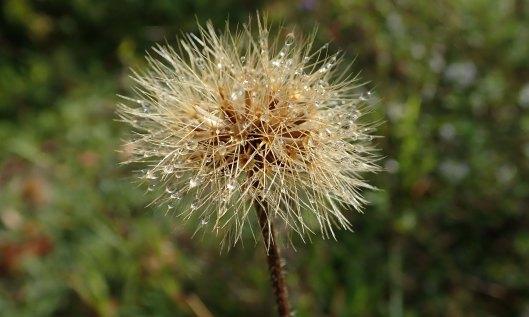 200912 dew on seedhead