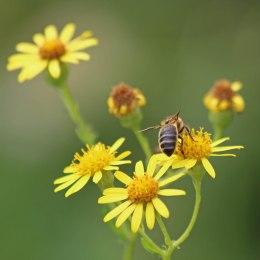 200913 bee honeybee maybe