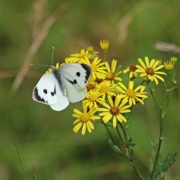 200913 butterfly large white