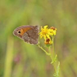 200913 butterfly meadow brown