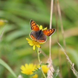 200913 butterfly small copper