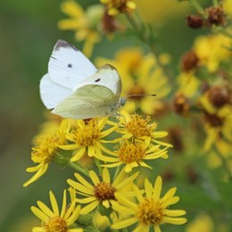 200913 butterfly small white