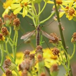 200913 cranefly