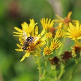200913 hoverfly eristalis nemorum