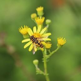 200913 hoverfly helophilus pendulus