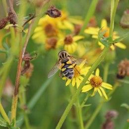 200913 hoverfly helophilus trivittatus