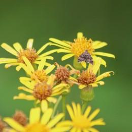 200913 nettle tap moth