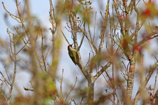 200915 green woodpecker