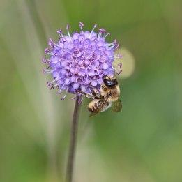200916 Megachile ligniseca (1)