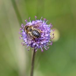 200916 Megachile ligniseca (2)