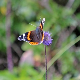 200917 butterfly red admiral