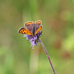 200917 butterfly small copper