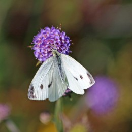 200917 butterfly small white