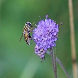 200917 hoverfly helophilus trivittatus