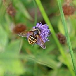 200917 hoverfly sericomyia silentis
