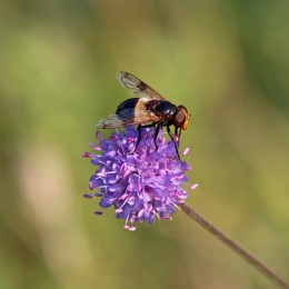 200917 hoverfly volucella pellucens