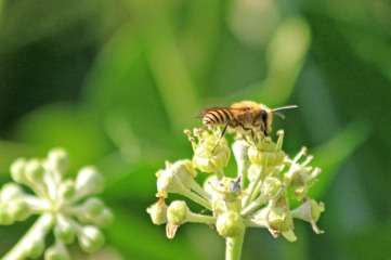 200919 ivy bees (2)