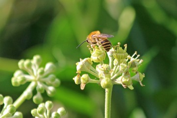 200919 ivy bees (3)