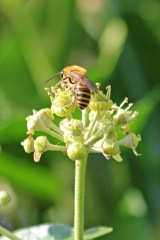 200919 ivy bees (4)