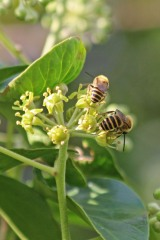 200919 ivy bees (5)