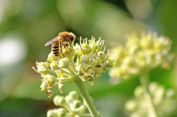 200919 ivy bees (6)