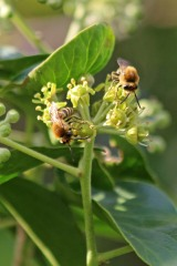 200919 ivy bees (8)