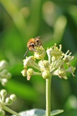 200919 ivy bees (9)