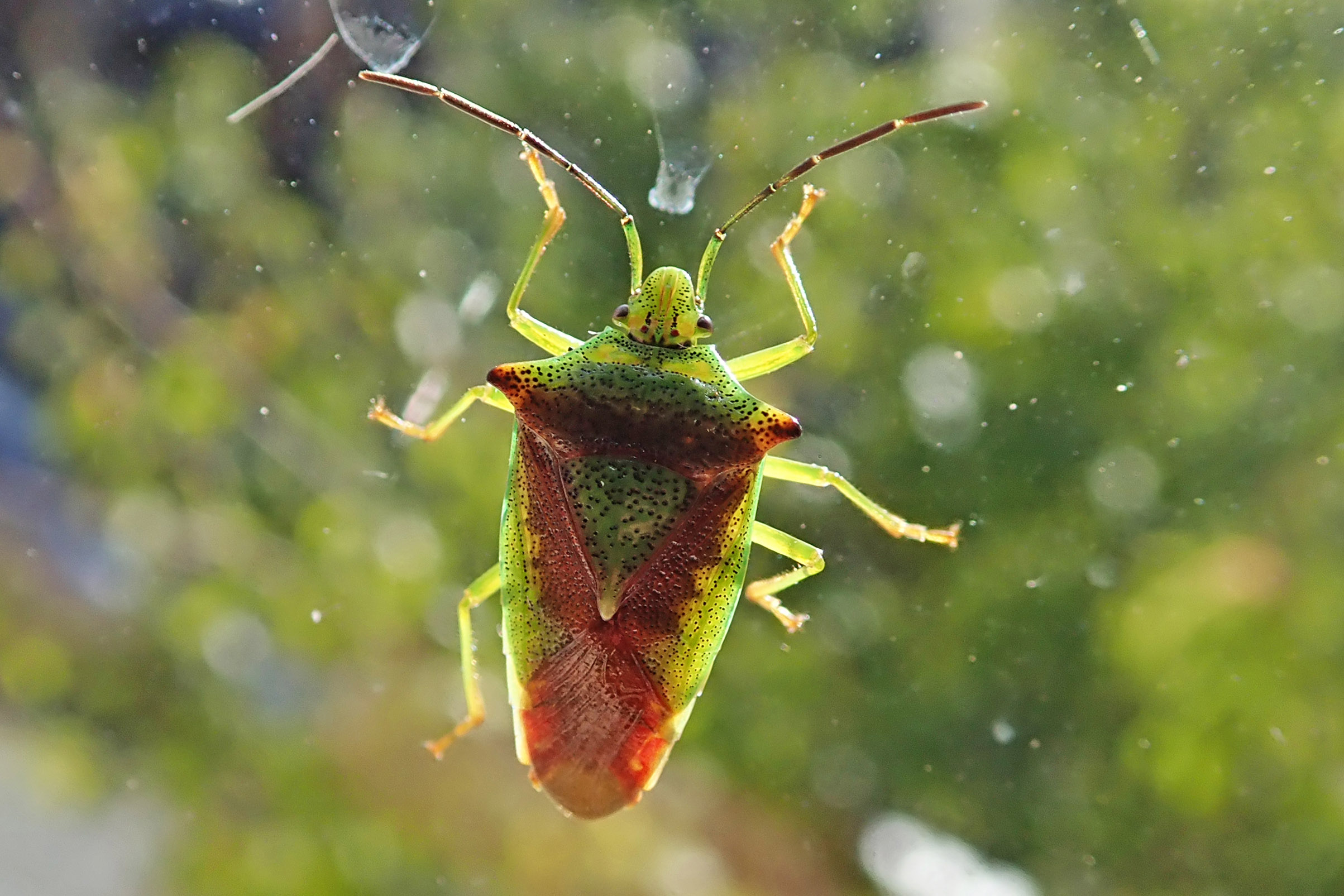 200923 hawthorn shieldbug