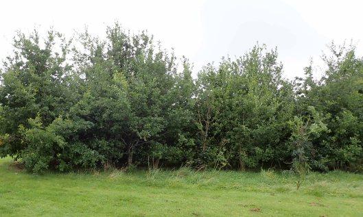 200924 oak galls (1)