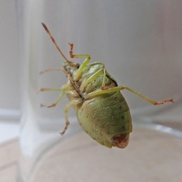 201001 common green shieldbug (2)