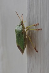 201001 common green shieldbug (3)