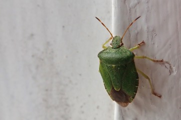201001 common green shieldbug (4)