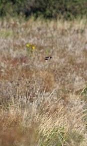 201002 swallows (3)