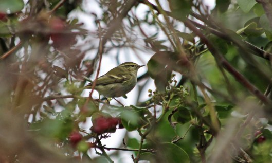 201006 yellow-browed warbler (1)