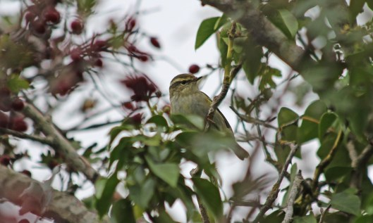 201006 yellow-browed warbler (2)
