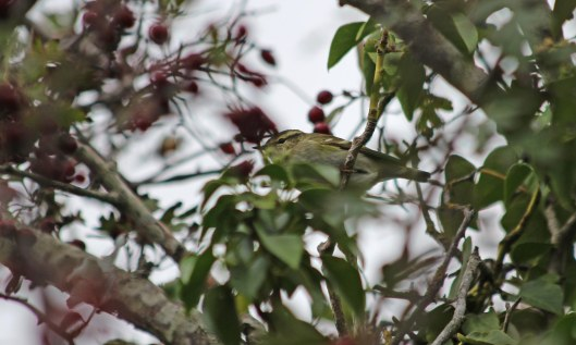201006 yellow-browed warbler (3)