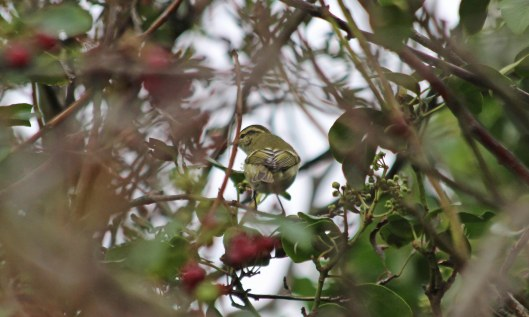201006 yellow-browed warbler (4)