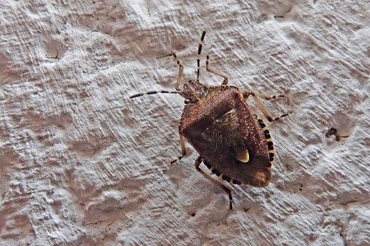 201007 hairy shieldbug