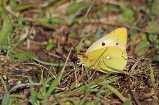 201008 clouded yellow