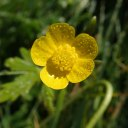 201012 creeping buttercup