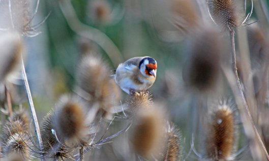 201013 goldfinch (1)