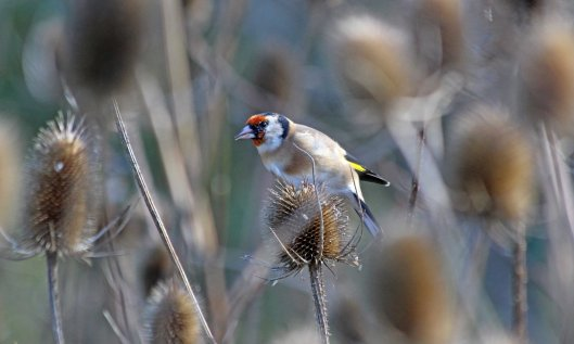 201013 goldfinch (2)