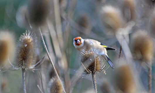 201013 goldfinch (3)