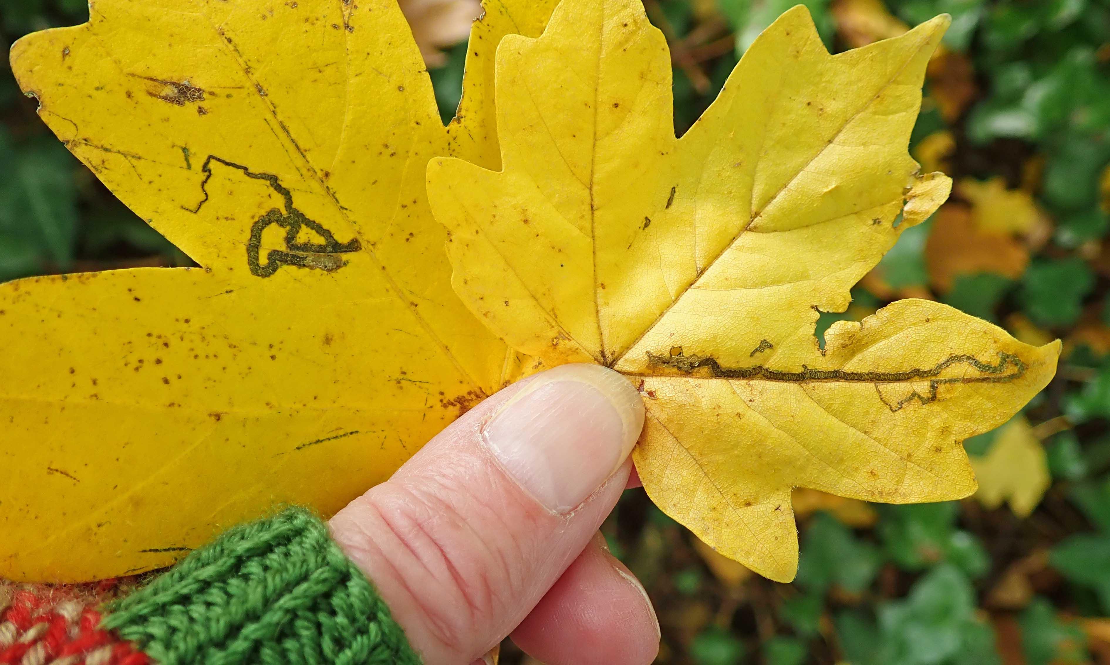 201019 leafmine (5)