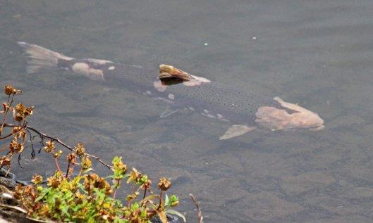 201021 salmon