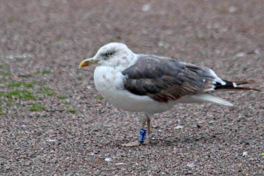 201022 ringed lesser black-backed gull