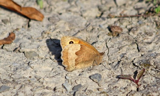 201024 meadow brown 200918