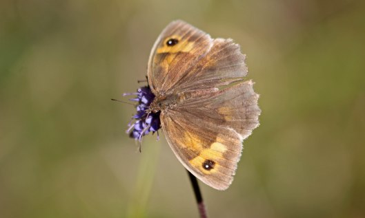 201024 meadow brown 200925