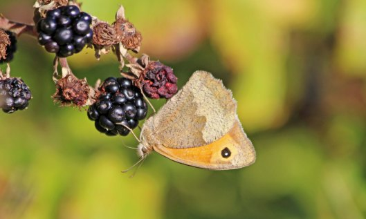 201024 meadow brown 200927